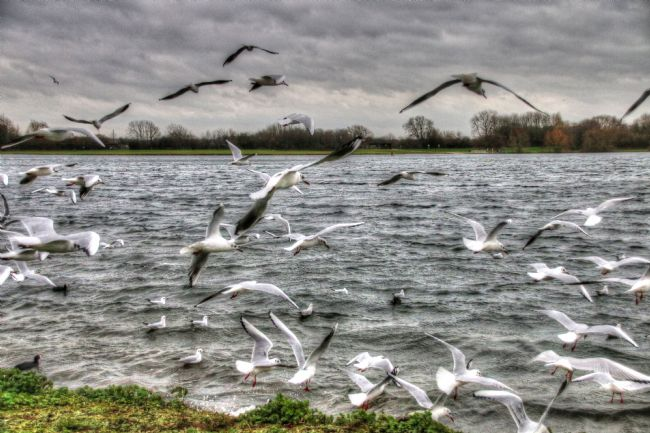 Tim Hage | Gulls on the wing