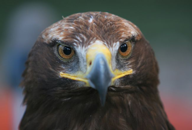 David Richardson | Golden Eagle Face