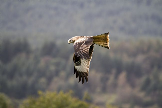 David Richardson | Red Kite Flight