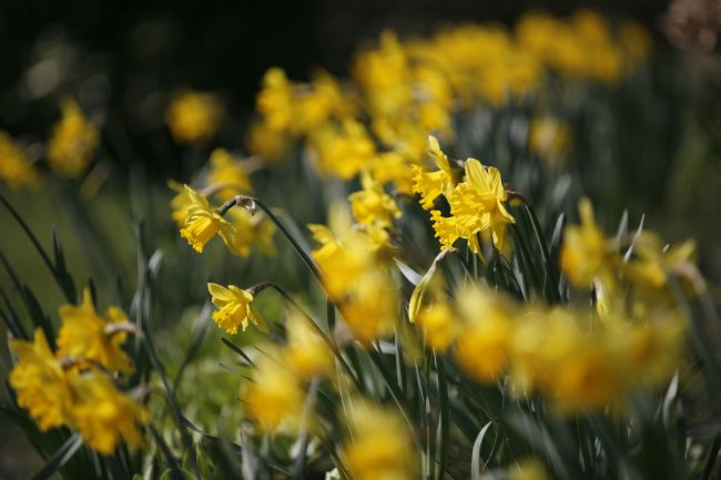 David Richardson | Daffodils
