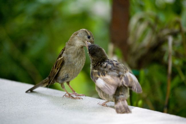 David Richardson | Sparrow Feeding Chick
