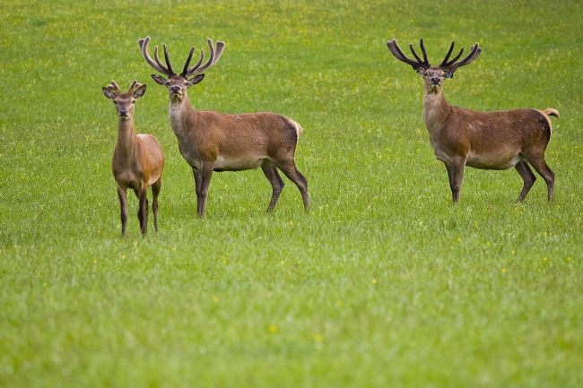 David Richardson | Three Deer in a field