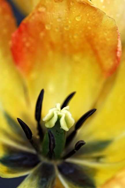 David Birchall | Tulip flower close-up.