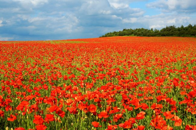 David Birchall | Derbyshire Poppy Field