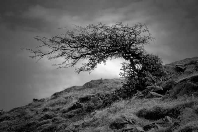 jason jones | The windswept tree