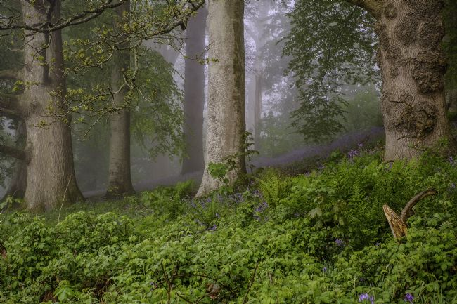 Hugh Gillings | Misty Woodland