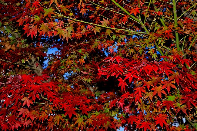 Kaye Menner | Maple Leaves Red and Green