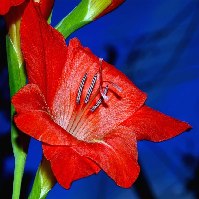 Kaye Menner | Red Gladioli on Blue