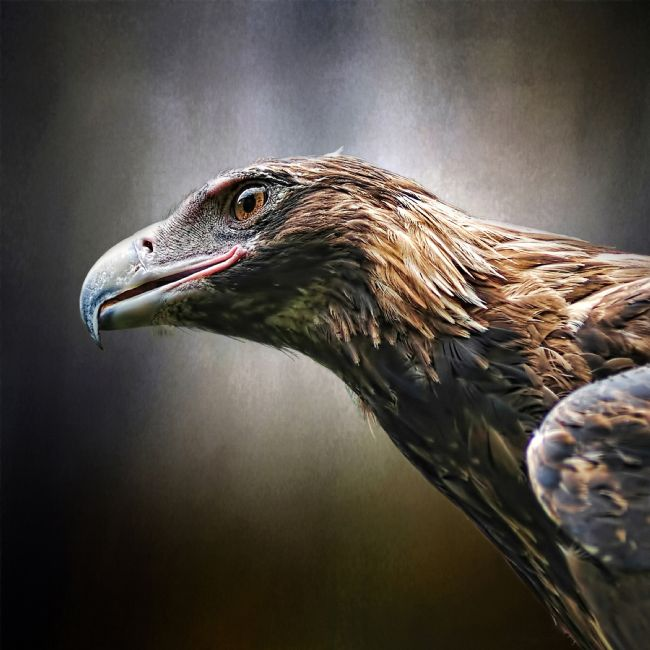 Kaye Menner | Wedge-tailed Eagle Portrait