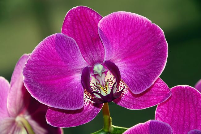 Kaye Menner | Pink Phalaenopsis Orchid with Bird