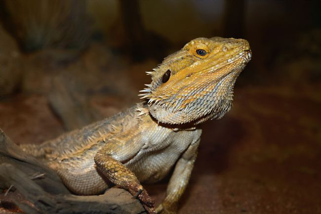 Kaye Menner | Central Bearded Dragon