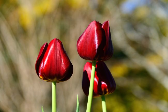 Kaye Menner | Three Red Tulips