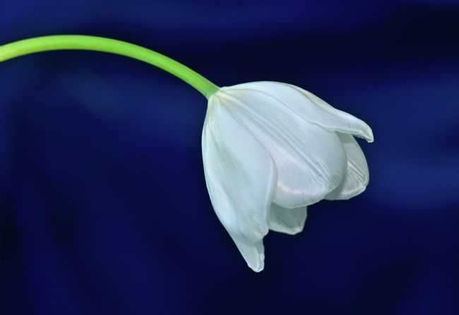 Kaye Menner | White Tulip on Blue
