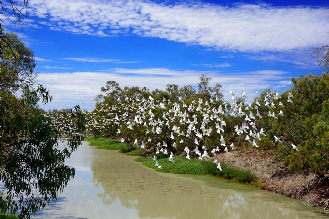 Kaye Menner | Corellas Over Darling River, New South Wales, Australia