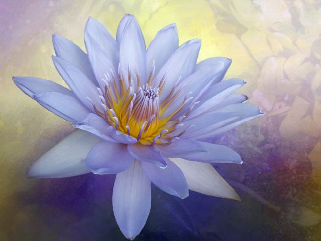Kaye Menner | Beauty of a Waterlily