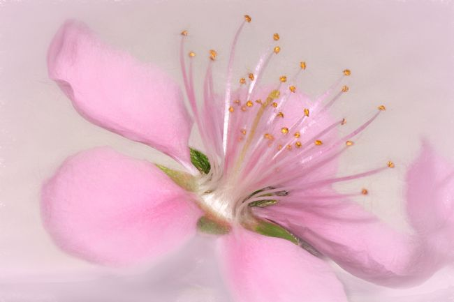Kaye Menner | Art of a Pink Blossom