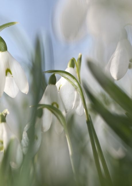 David Hollingworth | Sewerby Snowdrops