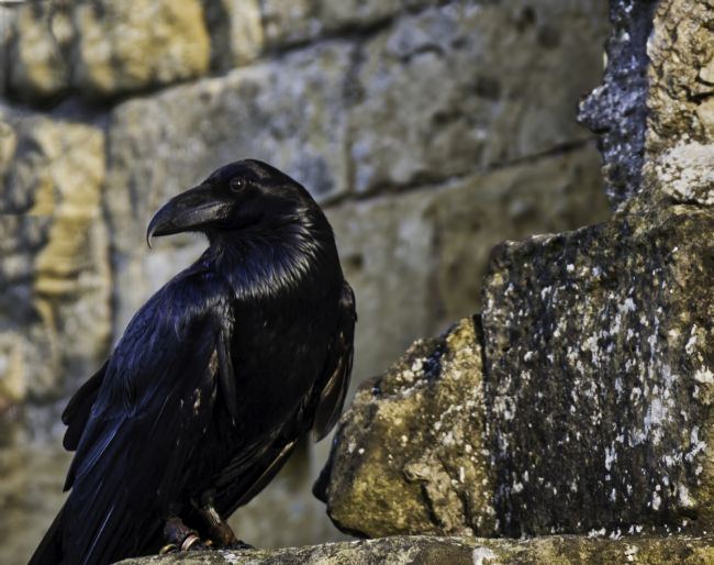 David Hollingworth | Knareborough  Castle Raven