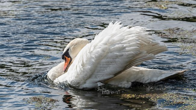 David Hollingworth | Mute Swan (Cygmus olor)