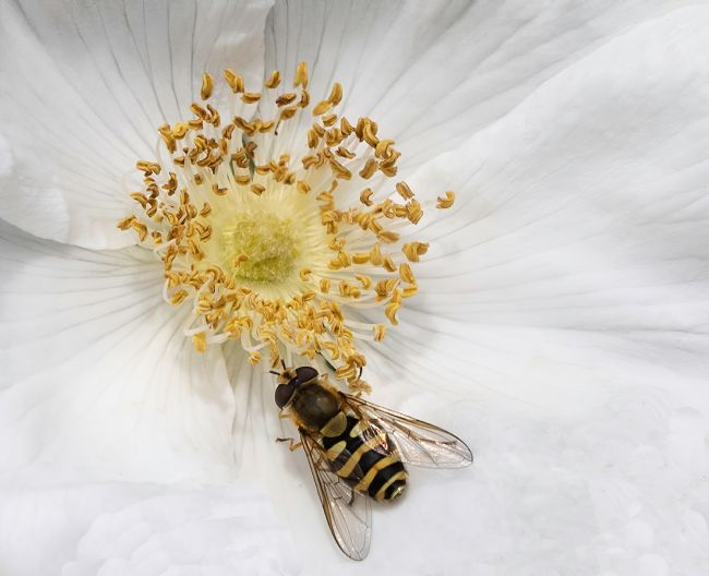 David Hollingworth | Hover Fly