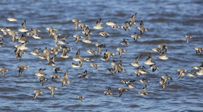 Alan Humphreys | Knot flying in Morecambe Bay England winter.