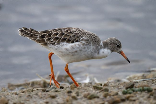 Alan Humphreys | A wading bird Ruff feeding on bank of freshwater ake