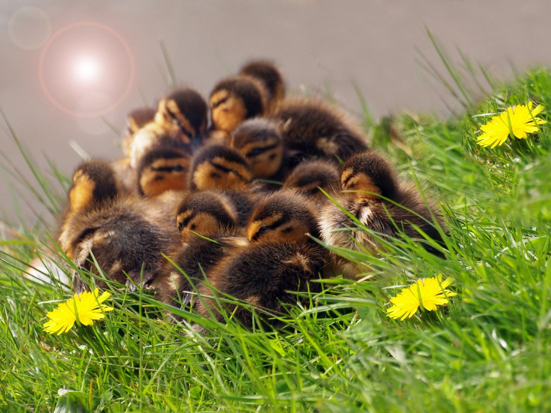 Susan Tinsley | Fluffy ducklings