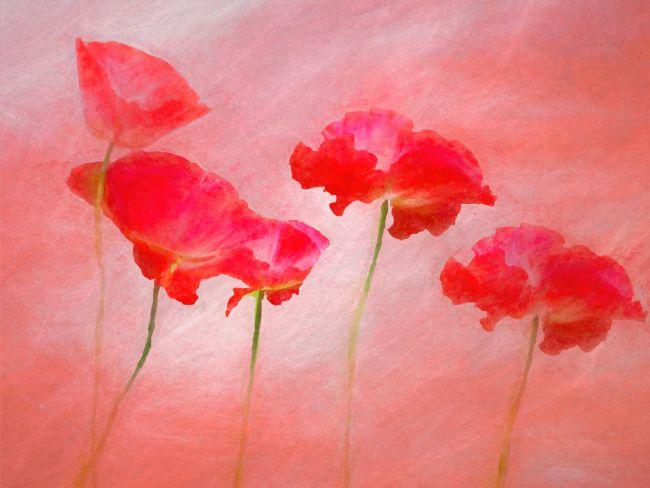 Susan Tinsley | Poppies