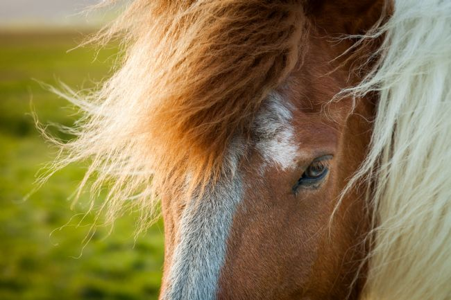 Peter O'Reilly | Icelandic Horse
