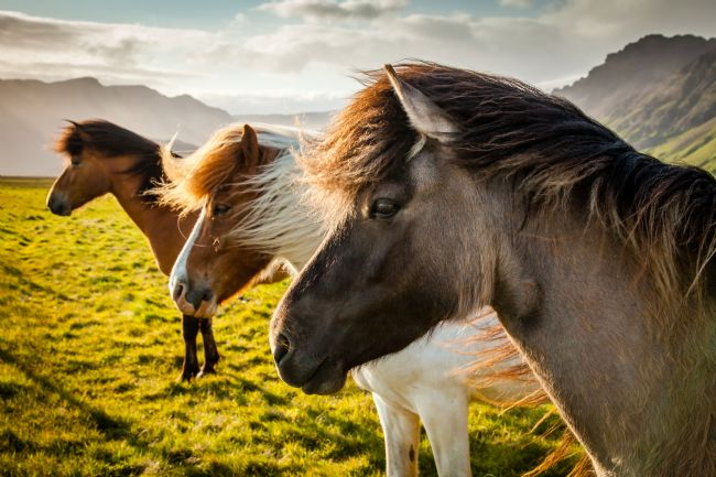 Peter O'Reilly | Icelandic Horses