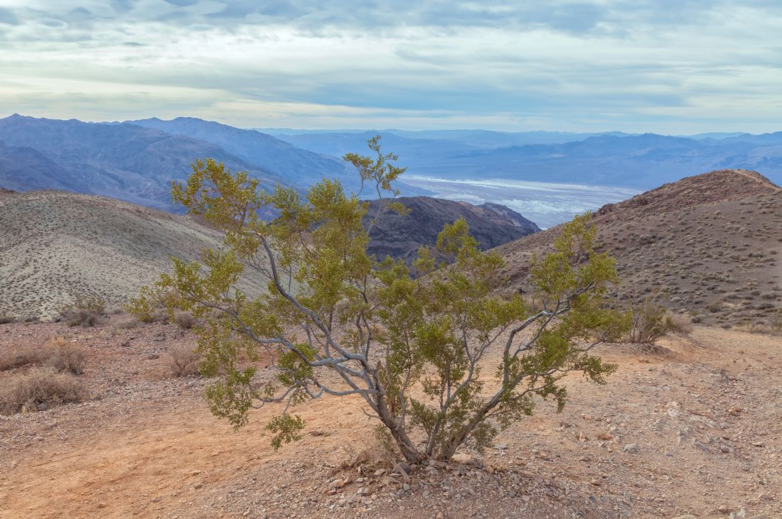 jonathan nguyen | Death Valley creosote bush