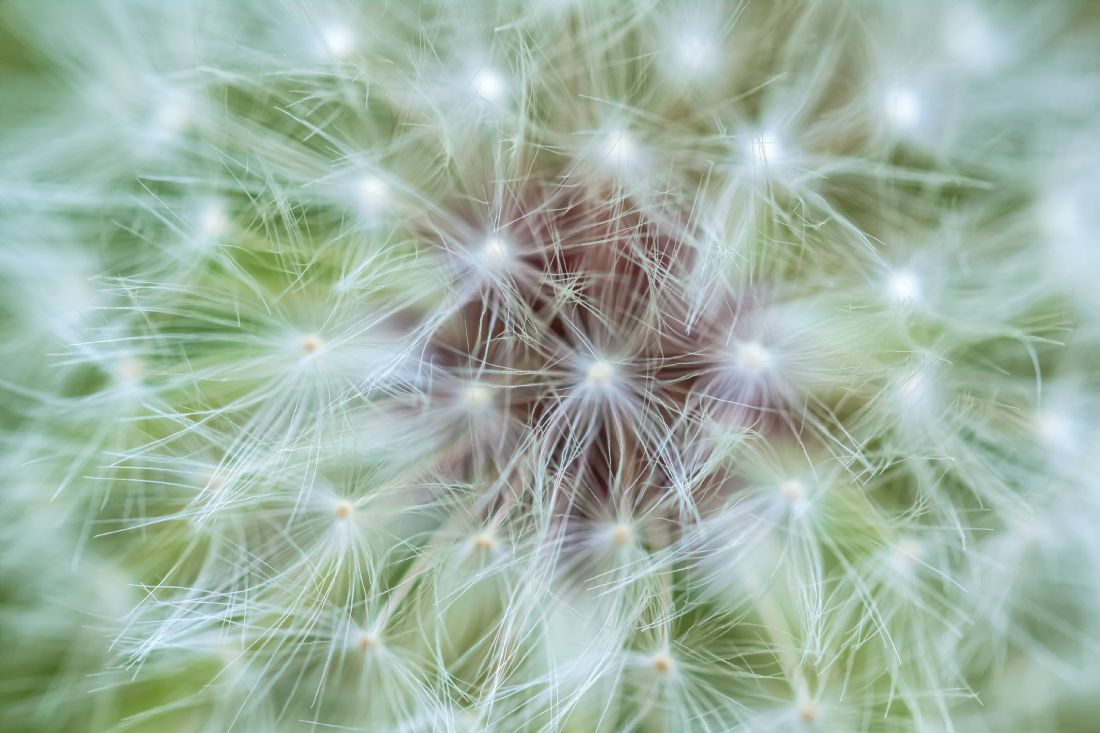 jonathan nguyen | dandelion abstract