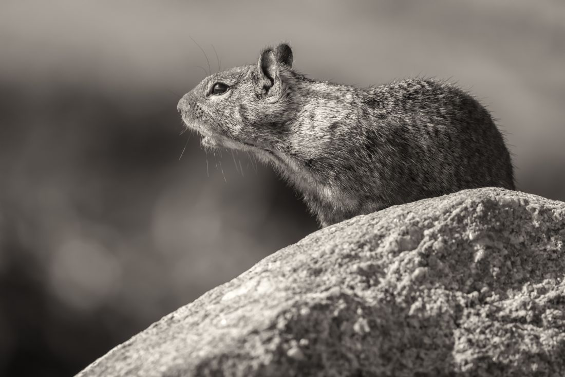 jonathan nguyen | ground squirrel in Black and White