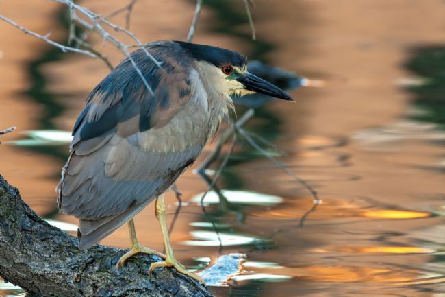 jonathan nguyen | black-crowned night heron
