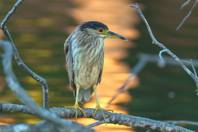 jonathan nguyen | Young black-crowned night heron