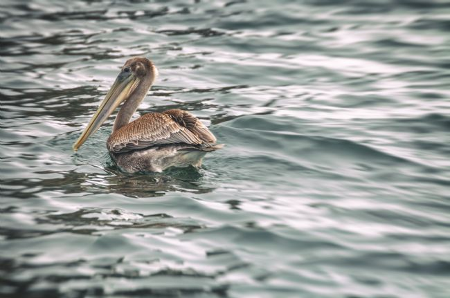 jonathan nguyen | pelican in water (color)