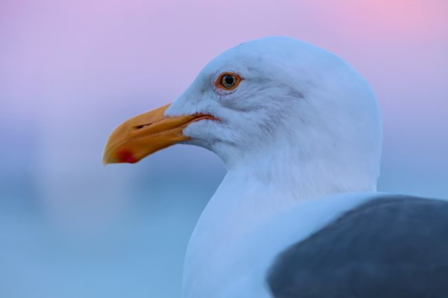 jonathan nguyen | Eye of a Gull