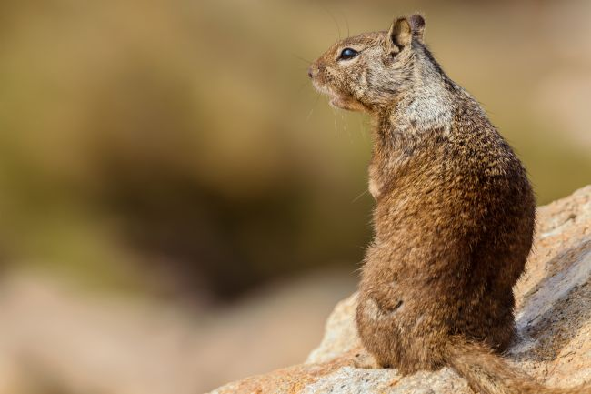 jonathan nguyen | ground squirrel