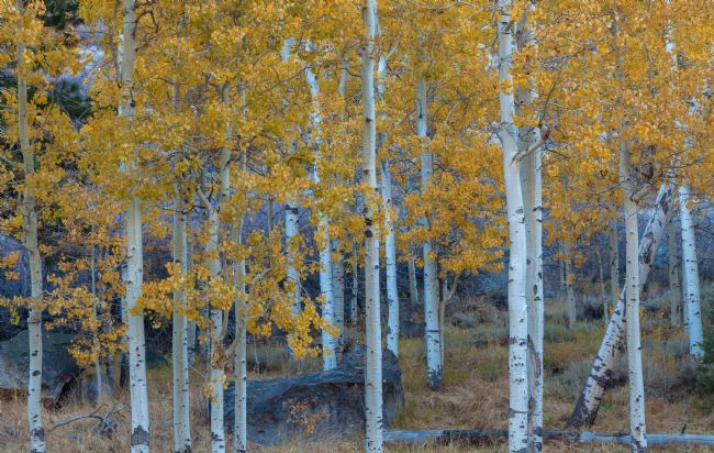 jonathan nguyen | aspen trees in autumn