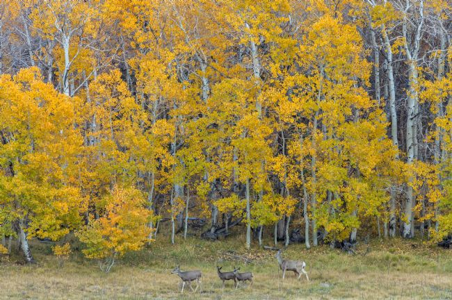 jonathan nguyen | aspen forest and deer