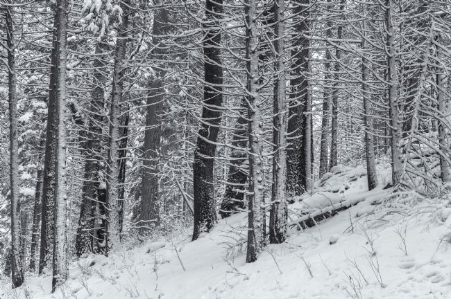 jonathan nguyen | trees with snow