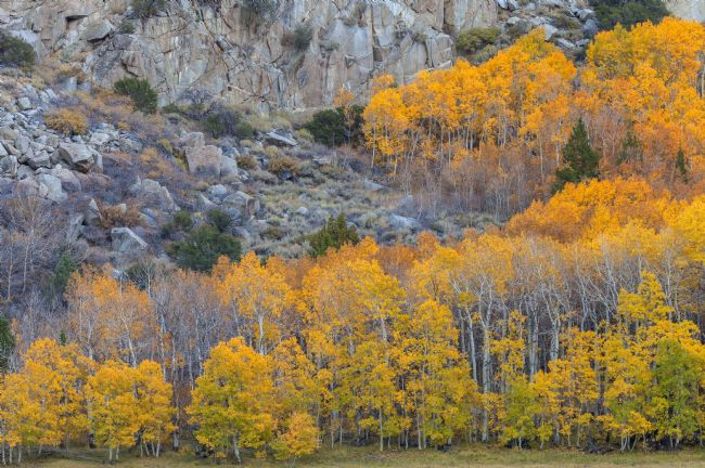 jonathan nguyen | Mountain Aspens Autumn 2