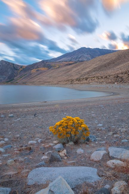 jonathan nguyen | rabbitbrush bloom
