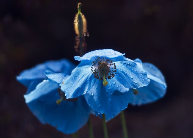 Scot Gillespie | Backlight Meconopsis
