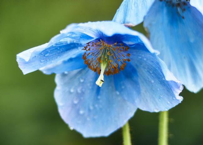 Scot Gillespie | Rising Meconopsis