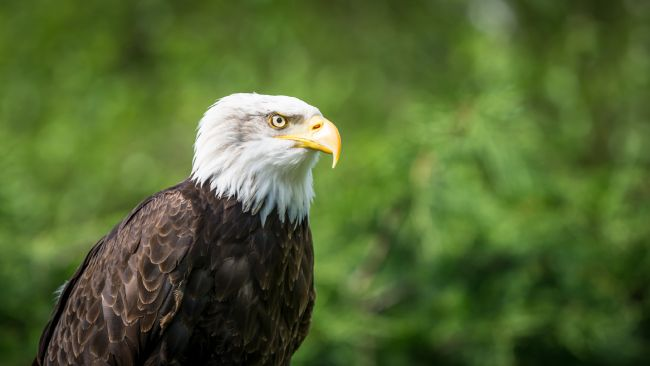 Matthew Boxley | Bald Eagle