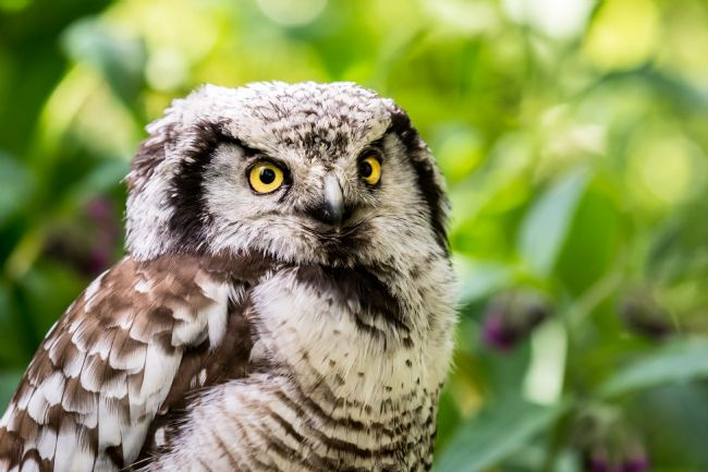 Matthew Boxley | Northern Hawk Owl