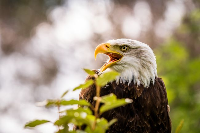 Matthew Boxley | Adult Male Bald Eagle