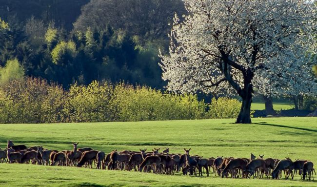 tammy mellor | field of deer