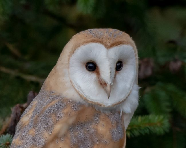 tammy mellor | barn owl up close